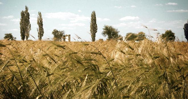wheat-field-6