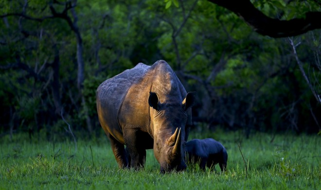 16. a-southern-white-rhino-named-bella-eats-with-her-day-old-baby-at-ziwa-rhino-sanctuary-in-central-uganda