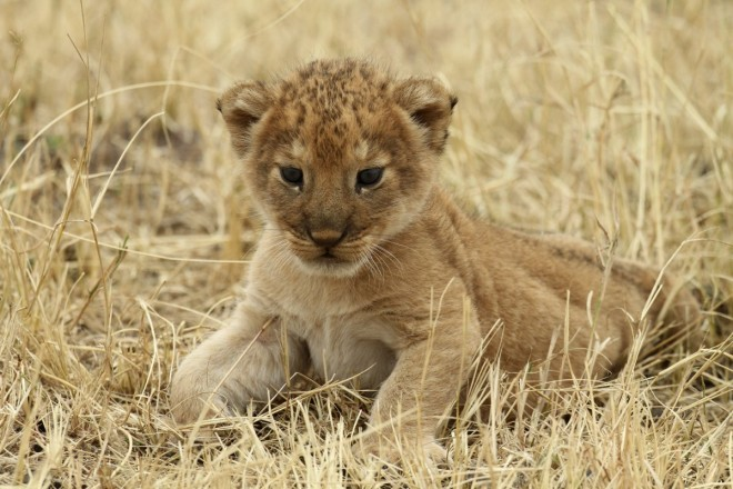 17. a-lion-cub-rests-at-tanzanias-serengeti-national-park