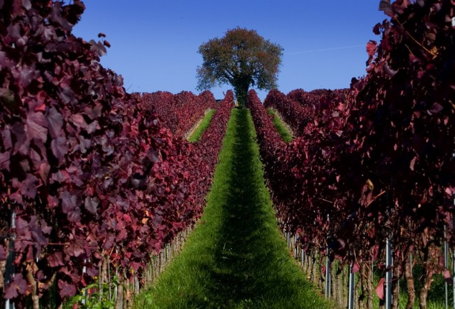 4. leaves-are-colored-red-in-a-vineyard-during-a-sunny-autumn-day-near-ueberlingen-in-germany
