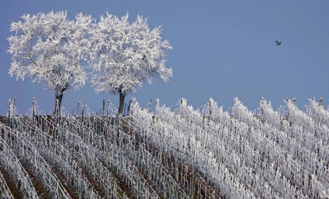 7. frosted-trees-are-seen-in-the-middle-of-vineyards-in-the-alsace-region-countryside-near-strasbourg-france