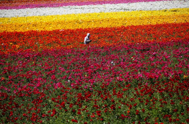 8. a-worker-hand-picks-giant-tecolote-ranunculus-flowers-at-the-flower-fields-in-california