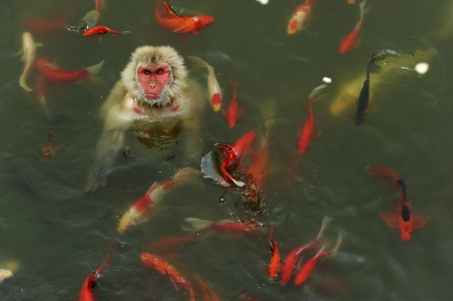 9. a-monkey-surrounded-by-carp-plays-in-a-pond-at-a-wildlife-park-in-china