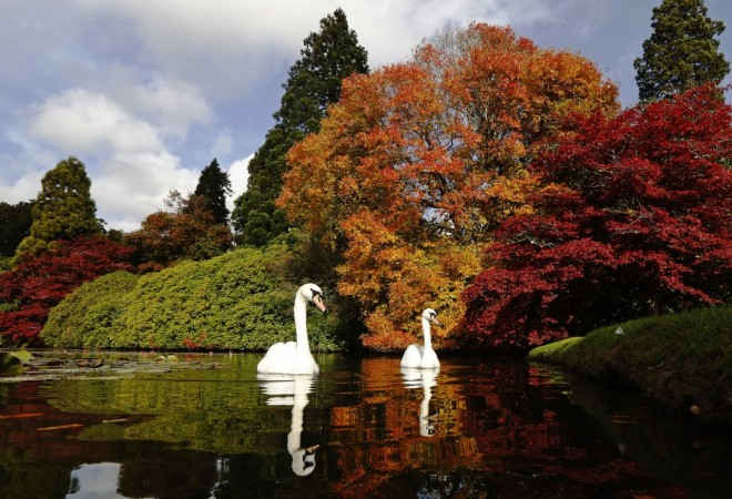 swans-swim-past-changing-autumn-leaves-in-sheffield-park-gardens-in-southern-england