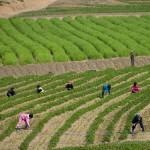 """I bambini in Nord Corea lavorano spesso nelle """"comuni agricole"""""""