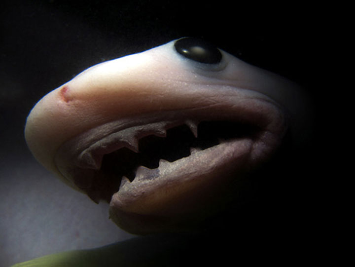 squalo_tigre_pancia_mamma