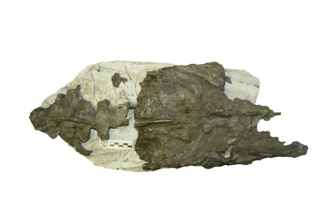 Fossile pinguino
