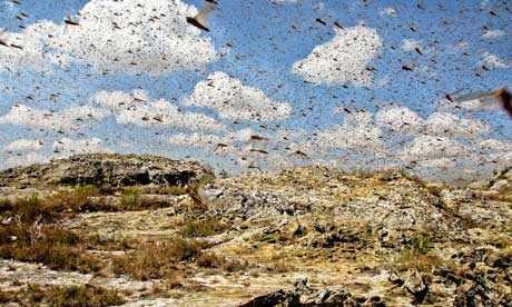 MDG Locusts in Madagascar