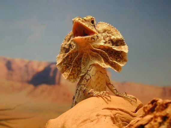 Lucertola-dal-collare-Clamidosauro