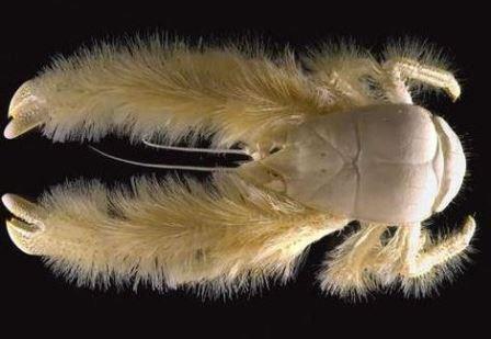 The-very-hairy-yeti-crab.-Photo-credit
