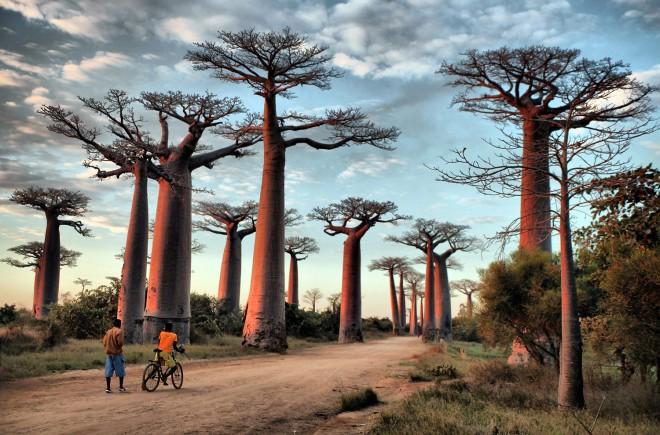 Madagascar_Baobabs