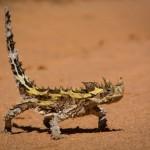 """Nel linguaggio scientifico si chiama Moloch Horridus ed è un piccolo rettile dell'Australia. Nonostante sembri uscito da Jurassic Park, questo """"lucertolino"""" è del tutto innocuo: l'unica cosa che può fare, in caso di pericolo, è mimetizzarsi, cambiando il colore della propria pelle."""
