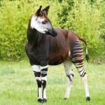 È l'animale che, per sembianze, più si avvicina alla giraffa. Si tratta di un animale buffissimo, che ricorda a tratti (e a strisce!) zebra, cerbiatto e – appunto – giraffa. Ha una lingua lunga e blu, che utilizza per cibarsi di germogli e foglie. L'esistenza dell'okapi è oggi minacciata da più fattori, ma questo simpatico animale è riuscito a guadagnarsi l'ammirazione della Repubblica Democratica del Congo, che ha deciso di ritrarlo sulle proprie banconote da 50 franchi.