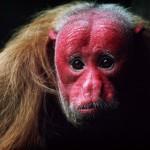 Detti anche Uakari Calvi, questi buffi primati vivono nelle foreste tropicali del Sud America e hanno un viso che ricorda i tratti di un teschio umano. Vivono in gruppi di 10-30 membri e sono estremamente sensibili e socievoli tra loro. Non è chiaro come mai gli Uacari Calvi abbiano il viso di un colore rosso intenso.