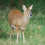 """Detto """"vampire deer"""" a causa dei suoi canini sporgenti (che si ritrovani soltanto nei maschi), questo mammifero era dato per estinto, ma recentemente ne sono stati avvistati alcuni esemplari nel Kashmir."""