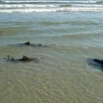 E' la spiaggia con il maggior numero di attacchi di squali registrati (283, come riportato dal Guinness dei Primati), il che la rende conosciuta come la Capitale del Mondo degli attacchi di squali. L'insenatura a sud della spiaggia rende le acque della New Smyrna Beach ottime per praticare surf. Questo aggrava la pericolosità della baia, poiché, come riferisce il Miami Hearls, gli squali reagiscono agli spruzzi generati dalle tavole da surf mordendo alla cieca.