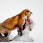 "La fotografia vincitrice del Wildlife photographer of the year e della categoria ""mammiferi"""