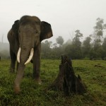 Un elefante di Sumatra cammina vicino agli alberi bruciati presso il Elephant Training Centre nella provincia indonesiana di Riau il 29 febbraio 2008. L' elefante di Sumatra, il più piccolo tra gli elefanti asiatici, sta affrontando gravi pressioni derivanti dal disboscamento illegale e rapida conversione delle foreste in piantagioni di palma da olio.