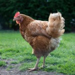 L'unico pollo che rientra nella lista dei 10 animali domestici più ricchi. Quando lasciò il lavoro, il ricco magnate dell'edioria inglese Mile Blackwell vendette tutto il suo patrimonio e si ritirò in campagna per allevare animali. Quando Blackwell è morto nel 2001 ha dato gran parte della sua fortuna in beneficenza e ha lasciato qualcosa come 15 milioni di dollari alla sua amata gallina Gigoo.