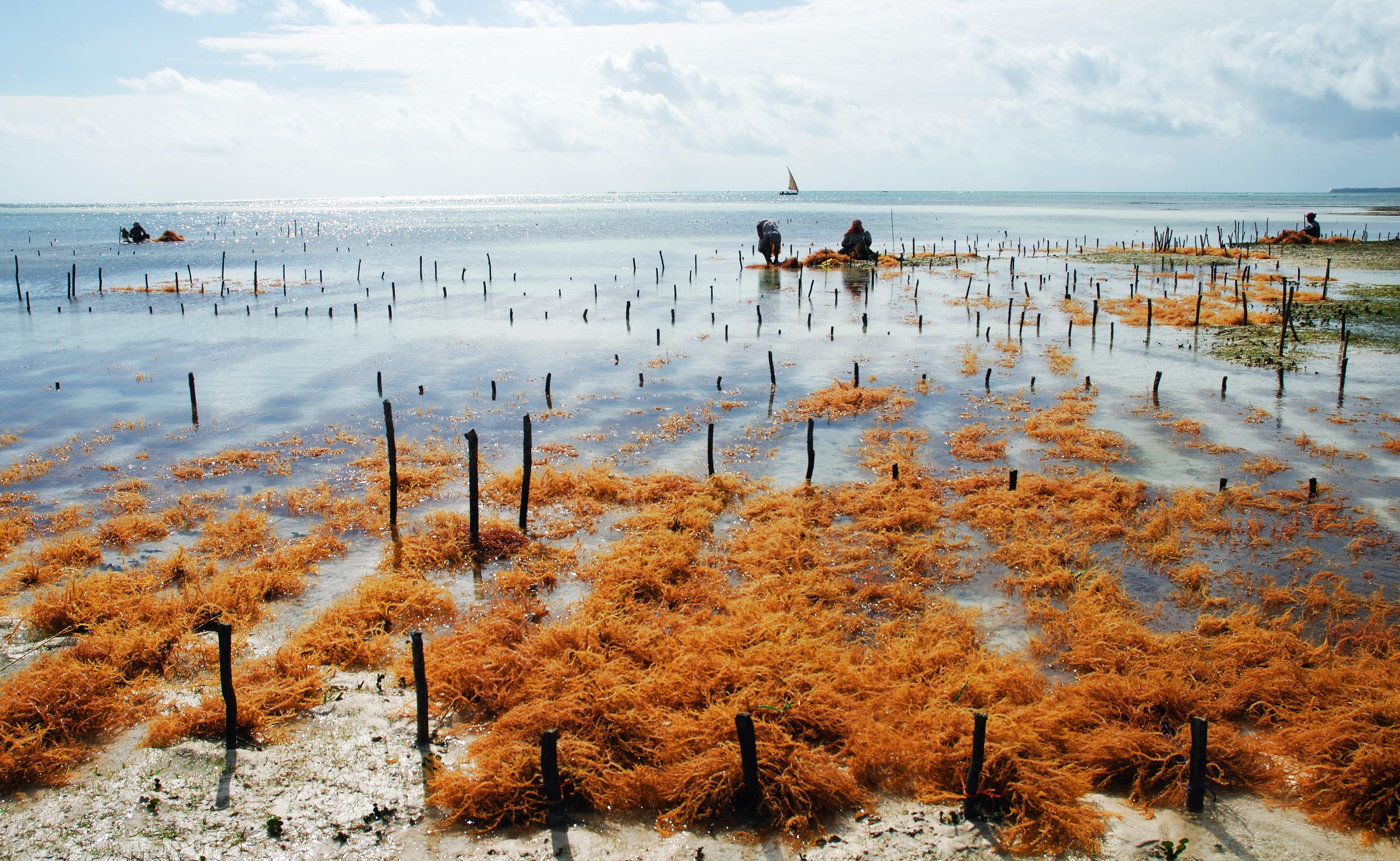 Coltivazione di alghe ad Uroa