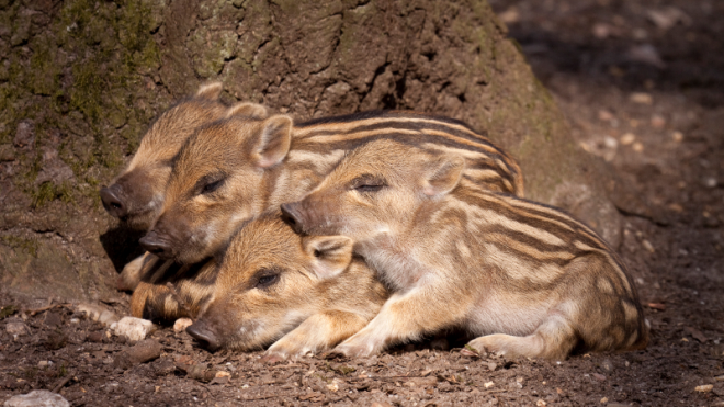 9-allevatori di maiali