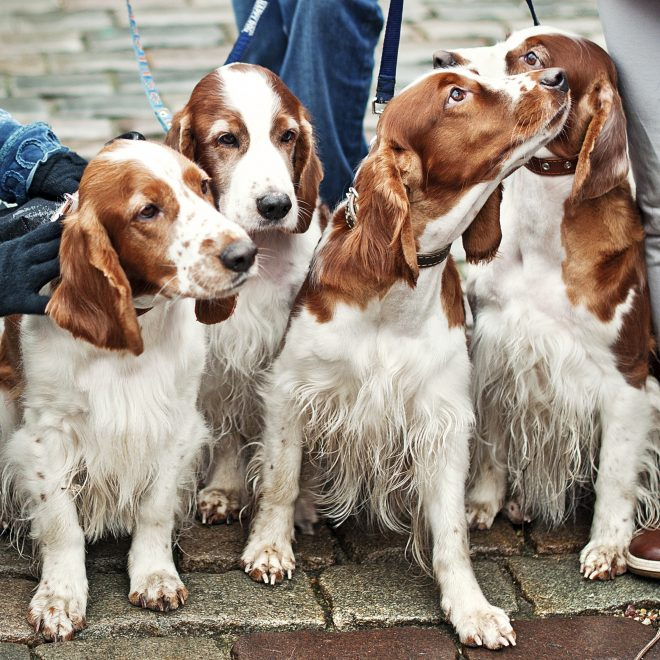 four young cocker spaniel