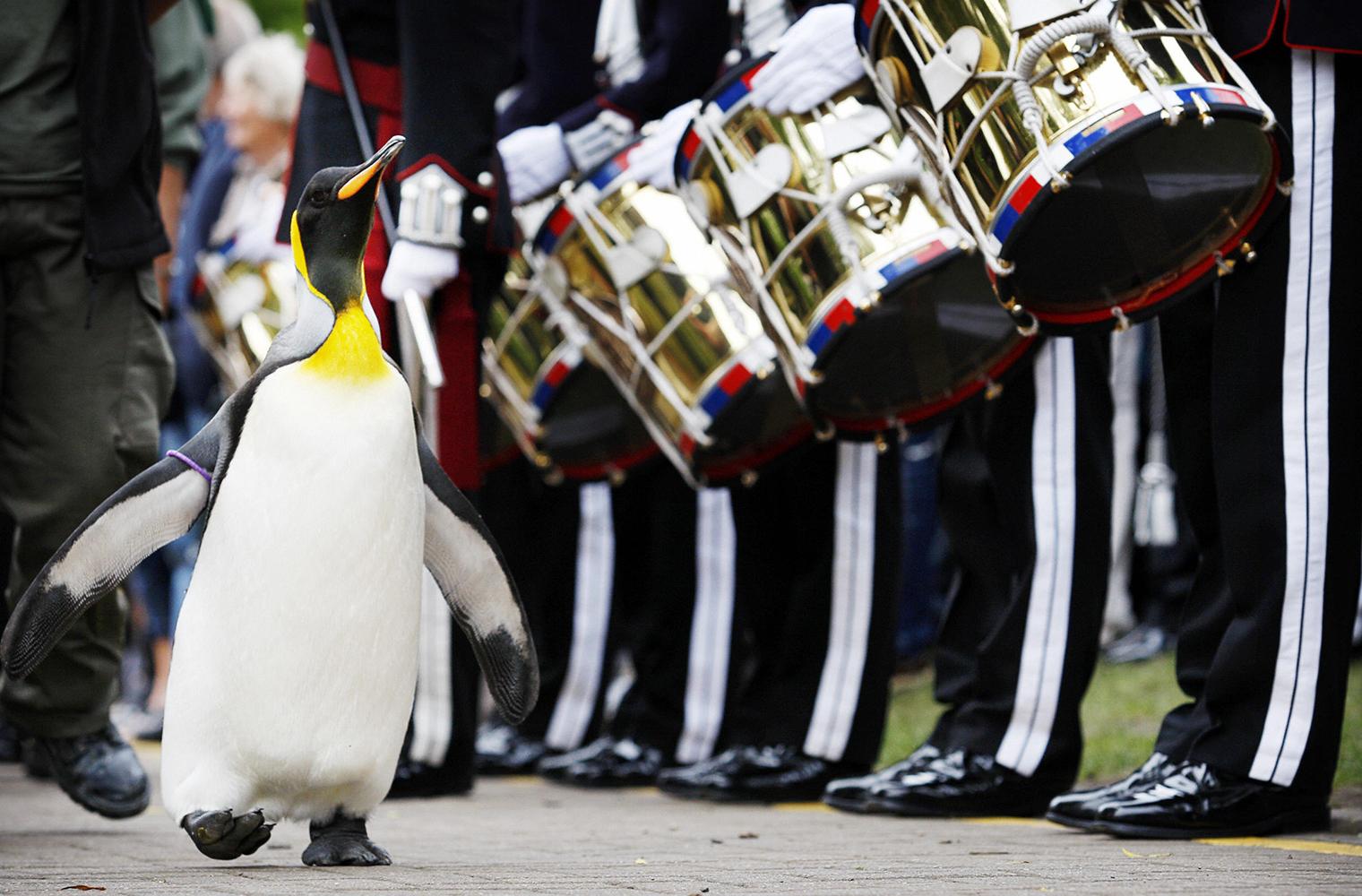 Edimburgo, il pinguino promosso Comandante di Brigata sfila con i militari