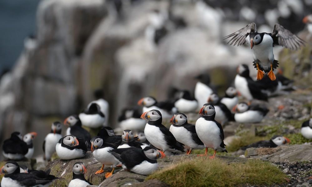 puffin-farne-island